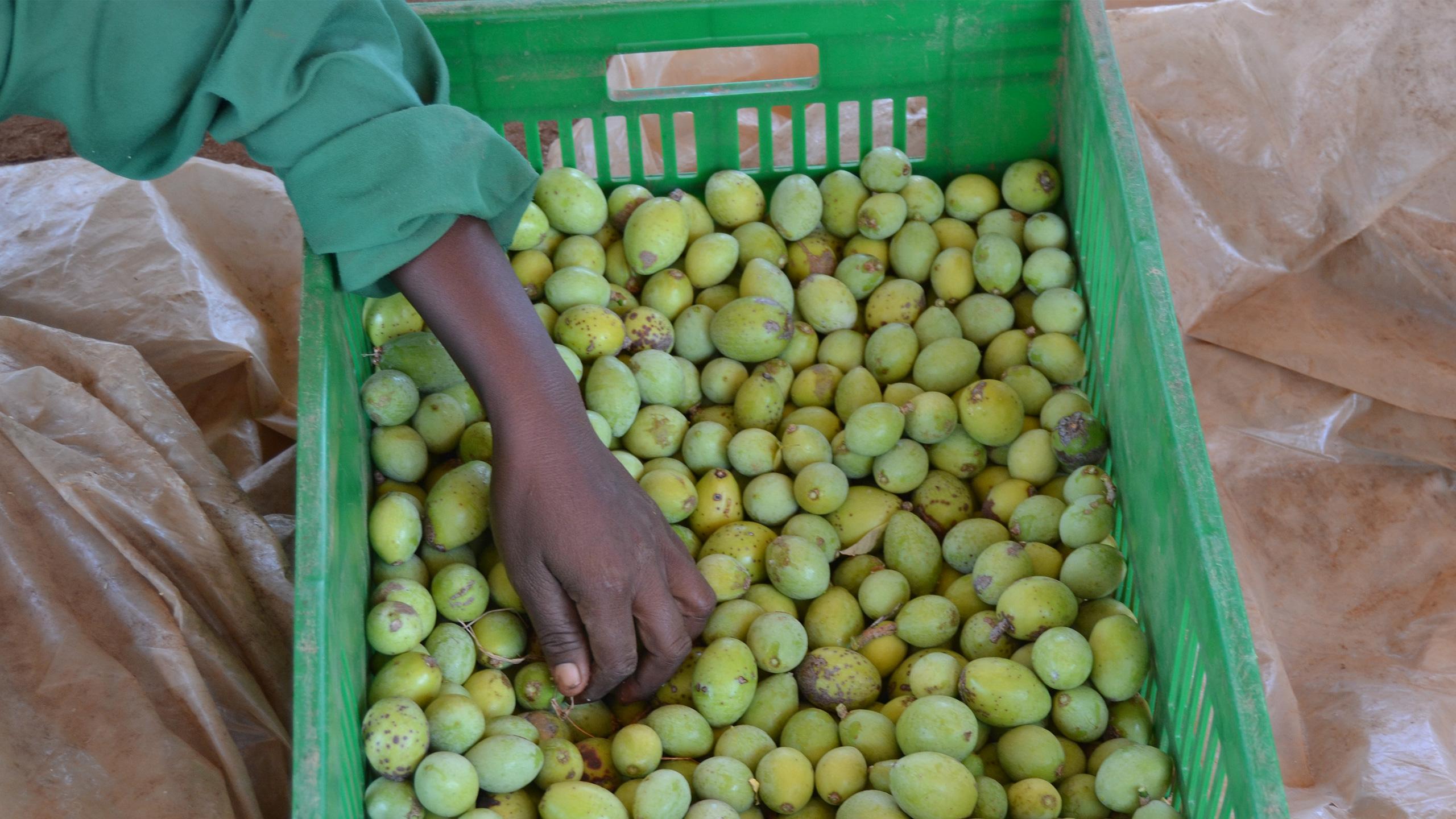 De la semilla al árbol de Mukau